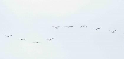 judith matter - pelikane